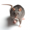 Thumbnail image for Is There a RAT in Your Mac? How to Identify and Fix the Problem!